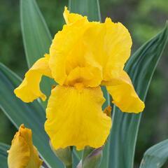 Kosatec německý 'Acapulco Gold' - Iris barbata-elatior 'Acapulco Gold'