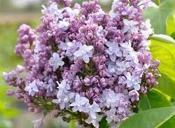 Šeřík obecný 'Nadezhda' - Syringa vulgaris 'Nadezhda'
