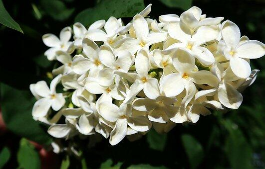 Šeřík obecný 'Madame Florent Stepman' - Syringa vulgaris 'Madame Florent Stepman'