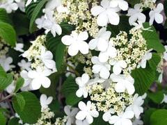 Kalina japonská 'Tomentosum' - Viburnum plicatum 'Tomentosum'