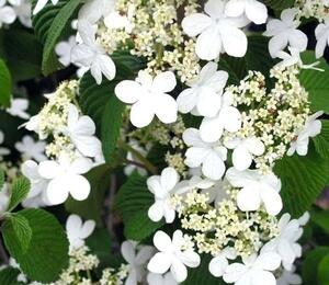 Kalina japonská - Viburnum plicatum forma tomentosum