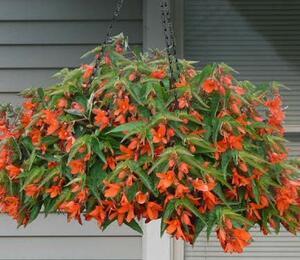 Begónie bolívijská 'Bossa Nova Orange' - Begonia boliviensis 'Bossa Nova Orange'