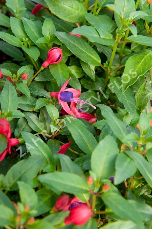 Čílko, fuchsie 'Fuchsita Red Blue' - Fuchsia hybrida 'Fuchsita Red Blue'