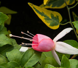 Čílko, fuchsie 'Pink Panther' - Fuchsia hybrida 'Pink Panther'