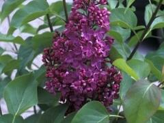 Šeřík obecný 'Sarah Sands' - Syringa vulgaris 'Sarah Sands'