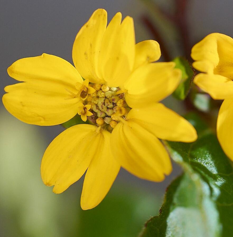 Ostálka viržinská 'Andre Viette' - Chrysogonum virginianum 'Andre Viette'
