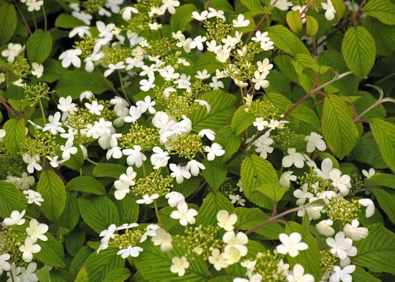 Kalina japonská 'Rowallane' - Viburnum plicatum 'Rowallane'