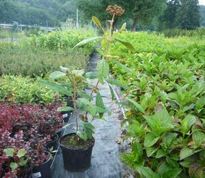 Kalina vrásčitolistá 'Holland' - Viburnum rhytidophyllum 'Holland'