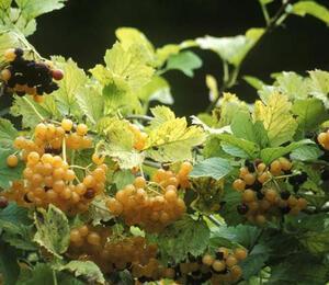 Kalina obecná 'Xanthocarpum' - Viburnum opulus 'Xanthocarpum'