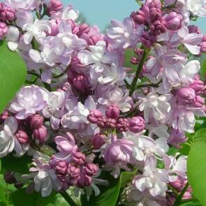 Šeřík obecný 'Montaigne' - Syringa vulgaris 'Montaigne'