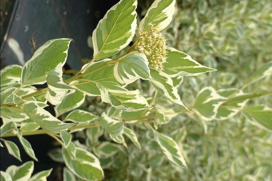 Svída výběžkatá 'White Gold' - Cornus sericea 'White Gold'
