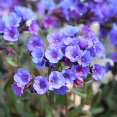 Plicník skvrnitý 'Smokey Blue' - Pulmonaria saccharata 'Smokey Blue'
