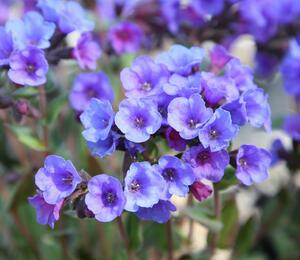 Plicník 'Smokey Blue' - Pulmonaria saccharata 'Smokey Blue'