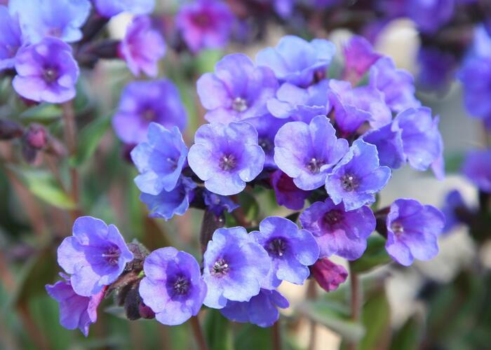 Plicník 'Smokey Blue' - Pulmonaria saccharata 'Smokey Blue'
