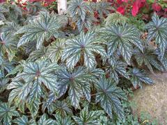 Begónie 'Gryphon' - Begonia hybrida 'Gryphon'