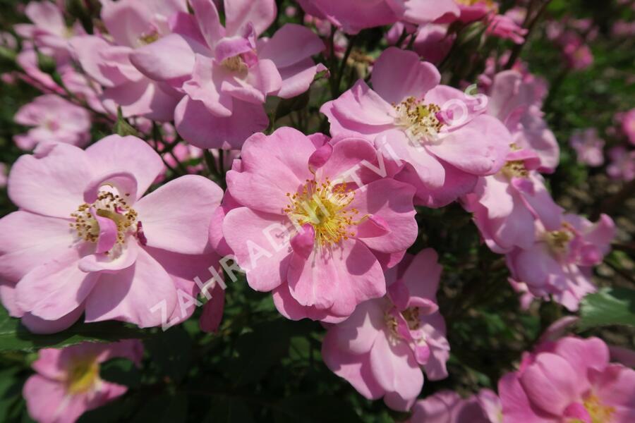 Růže mnohokvětá 'Lavender Dream' - Rosa MK 'Lavender Dream'