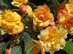 Begónie hlíznatá 'Beluga Apricot' - Begonia tuberhybrida 'Beluga Apricot'