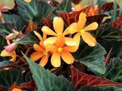 Begónie 'Glowing Embers' - Begonia hybrida 'Glowing Embers'