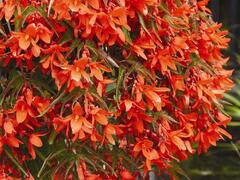Begónie 'Belmona Orange' - Begonia hybrida 'Belmona Orange'
