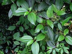 Kalina - Viburnum cinnamomifolium