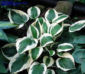 Bohyška 'Patriot ' - Hosta 'Patriot' F