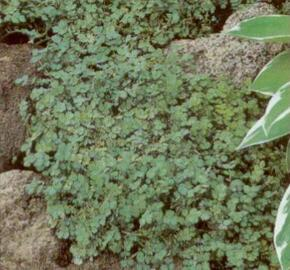 Plazilka - Acaena magellanica