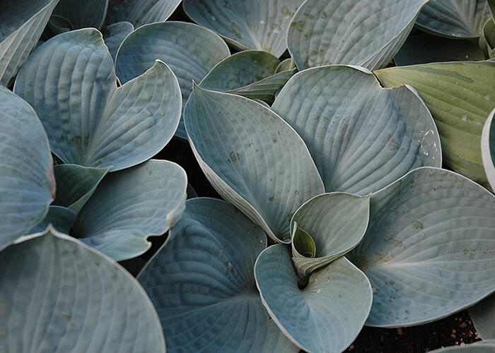 Bohyška 'Love Pat' - Hosta 'Love Pat'