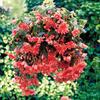 Begónie hlíznatá 'Illumination Rose' - Begonia tuberhybrida 'Illumination Rose'
