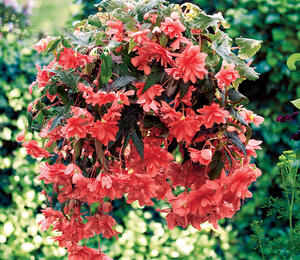 Begónie hlíznatá 'Illumination Rose' - Begonia tuberhybrida 'Illumination Rose'