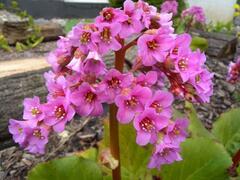 Bergénie srdčitá 'Silberlight' - Bergenia cordifolia 'Silberlight'