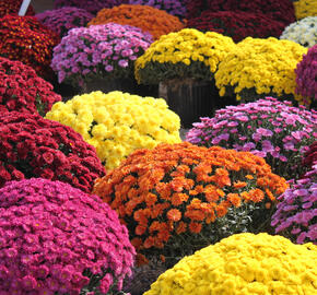 Listopadka - Chrysanthemum hortorum