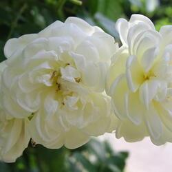 Růže pnoucí 'Aglaia' - Rosa PN 'Aglaia'