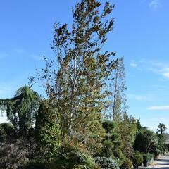 Buk lesní 'Purpurea Major' - Fagus sylvatica 'Purpurea Major'