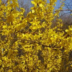 Zlatice prostřední 'Courtalyn' - Forsythia intermedia 'Courtalyn'