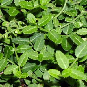 Brslen Fortuneův 'Kewensis' - Euonymus fortunei 'Kewensis'