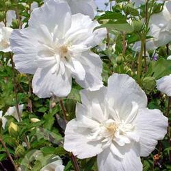Ibišek syrský 'White Chiffon' - Hibiscus syriacus 'White Chiffon'