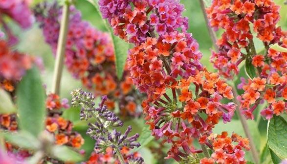 Motýlí keř, Komule 'Flower Power' - Buddleia weyeriana 'Flower Power'