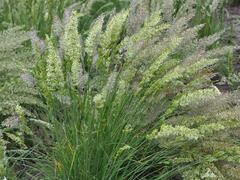 Smělek štíhlý - Koeleria macrantha