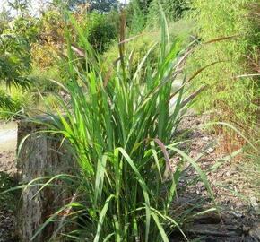 Ozdobnice čínská 'Brazil' - Miscanthus sinensis 'Brazil'