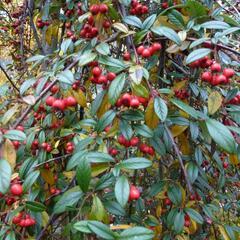 Skalník vrbolistý 'Repens' - Cotoneaster salicifolius 'Repens'