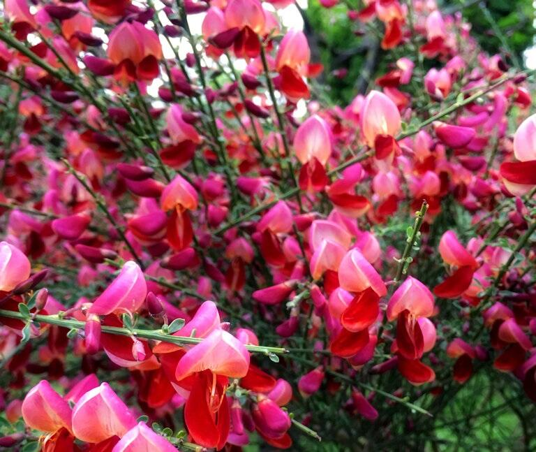 Čilimník 'Roter Favorit' - Cytisus 'Roter Favorit'