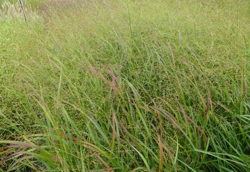Proso prutnaté 'Strictum' - Panicum virgatum 'Strictum'