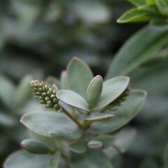 Hebe tučnolisté 'Pagei' - Hebe pinguifolia 'Pagei'