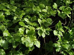 Brslen Fortuneův var. radicans - Euonymus fortunei var. radicans