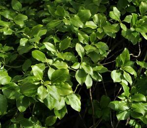 Brslen Fortuneův - Euonymus fortunei var. radicans