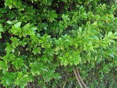 Brslen Fortuneův 'Green Carpet' - Euonymus fortunei 'Green Carpet'