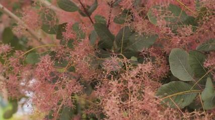 Ruj vlasatá 'Red Spirit' - Cotinus coggygria 'Red Spirit'