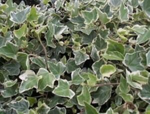 Břečťan popínavý 'Arborescens Argenteovariegata' - Hedera helix 'Arborescens Argenteovariegata'