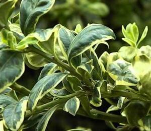 Zimostráz obecný 'Elegans' - Buxus sempervirens 'Elegans'