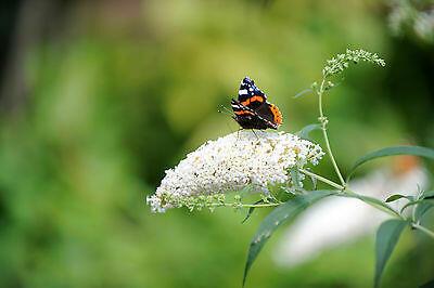 Motýlí keř, Komule Davidova 'White Mrs Keep' - Buddleia davidii 'White Mrs Keep'